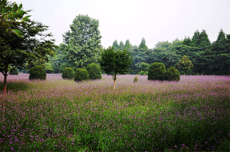 龙鼎紫花海