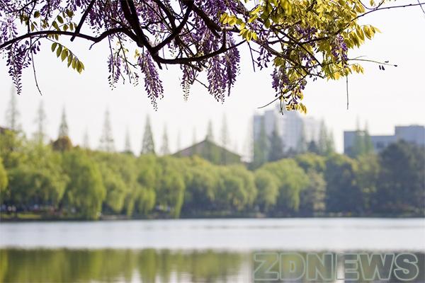 华家池紫藤蔓绕