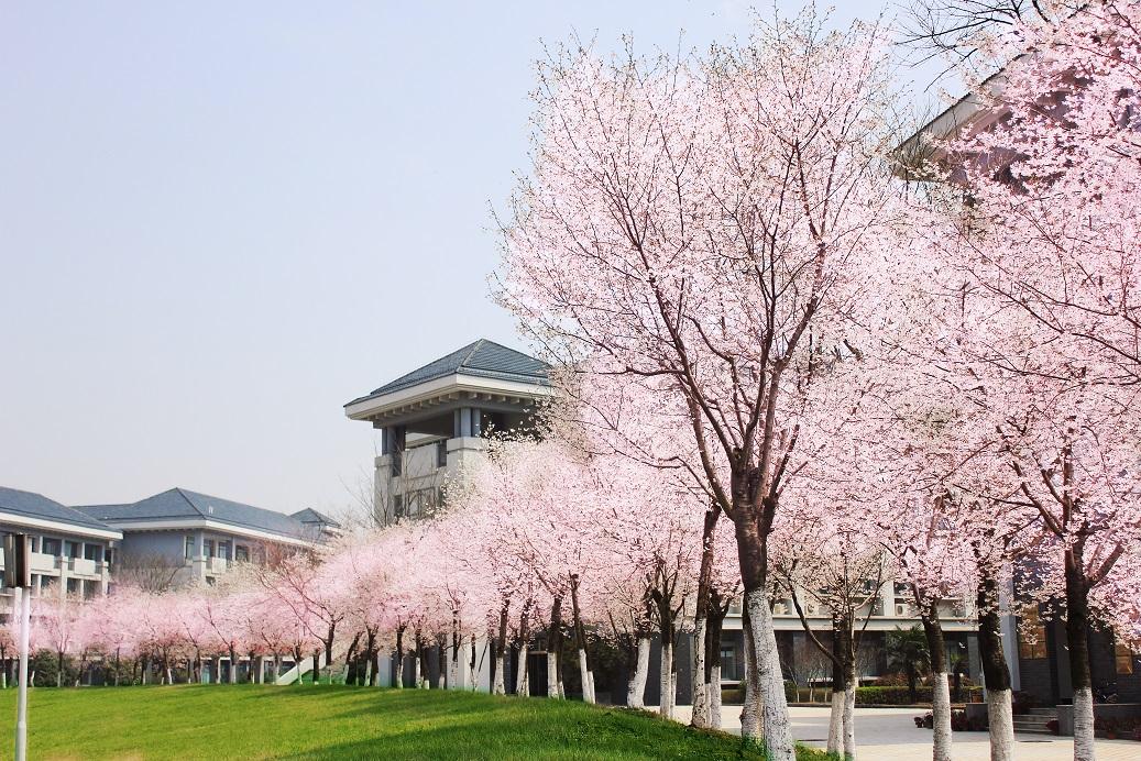 校园一角——樱花盛开2
